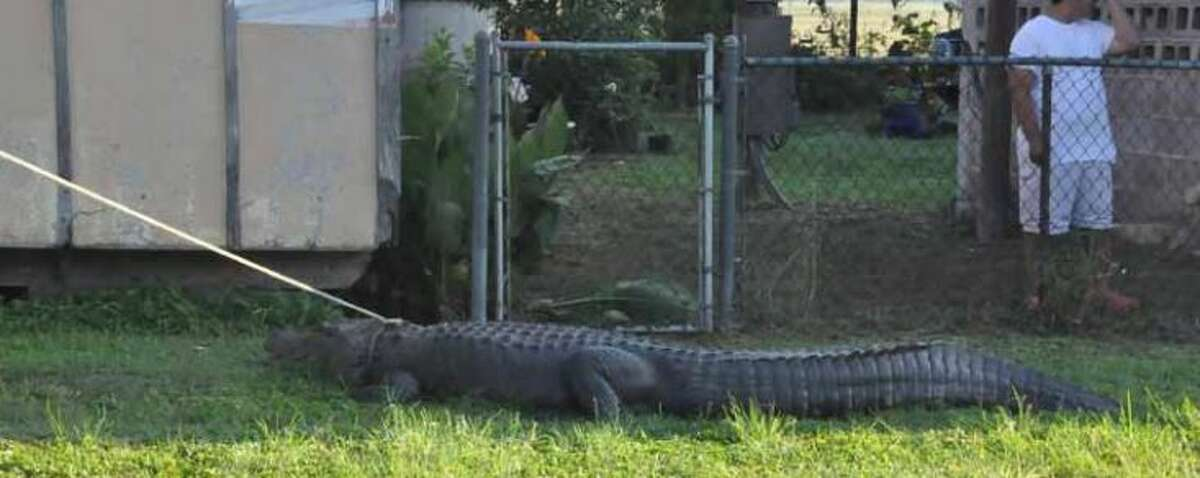 This alligator was caught crossing a road near Floresville on June 9, 2016, prompting a game warden to lasso the animal and pull it off the road.