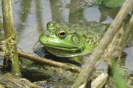 A frog waits for lunch at an unnamed pond in the northern section of Thacher_Park. (Herb Terns / Times Union)