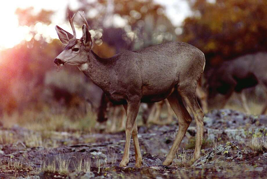 A mule deer wanders the south rim of the Black Canyon of the Gunnison National Park in Colorado. Photo: SHAUN STANLEY, Associated Press