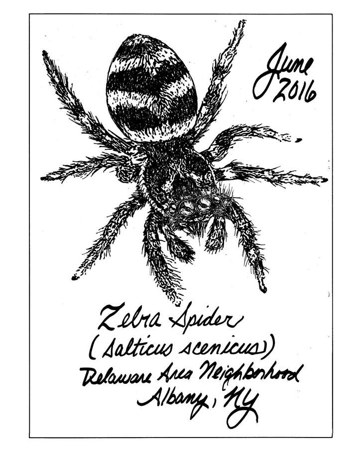 I've been noticing Zebra spiders (Salticus scenicus) on the sunny side of the rock walls and wooden posts that surround my garden, and on the fence near the trash can where they hunt for flies. At 5 to 9 millimeters long, they are fairly small spiders, yet not so small as to be unnoticeable. They always catch my eye. (Carol Coogan)