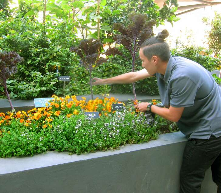 Sam Wilder, one of two gardeners at the AT&ballpark garden, harvests Kale, one of Spencer Pence's favorites.