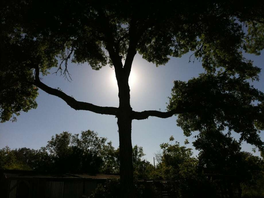 A Texas man is selling a novel tree for $1,000. Funds raised from the sale of the tree, otherwise known as the Savior Tree, will go toward the fight to save his dairy farm. Photo: EBay