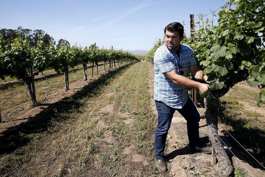 Joe Wagner inspects vines in the Clark & Telephone vineyard of Pinot Nior grapes in Santa Maria Valley (Santa Barbara County). Photo: Connor Radnovich, The Chronicle