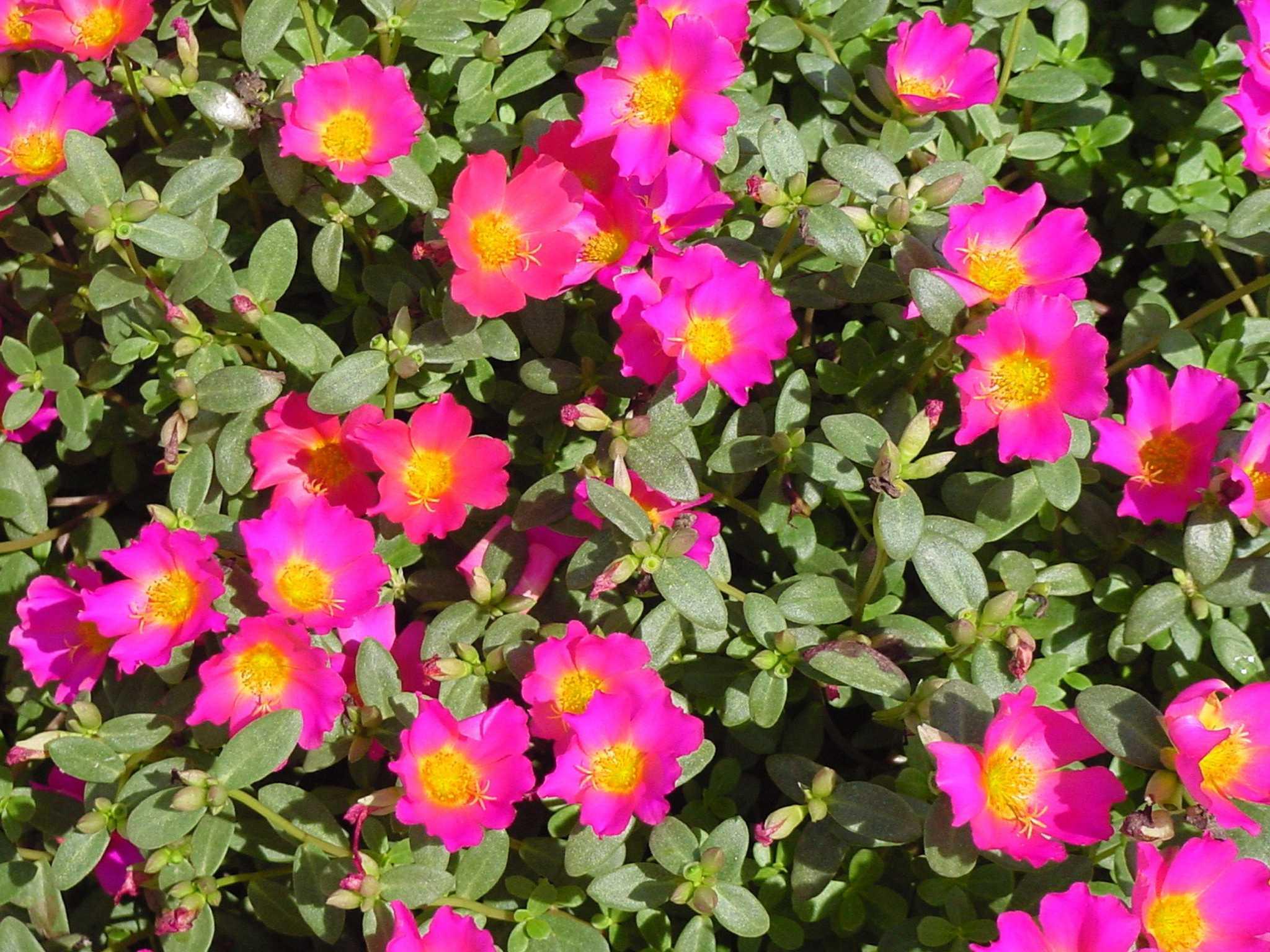 Как выглядит цветок портулак