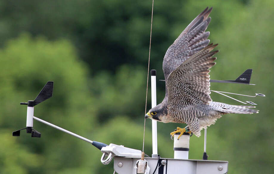 Photo by Chris BosakA Peregrine Falcon prepares to fly off the mast of a sailboat in Norwalk, CT, Sunday, Aug. 11, 2013.