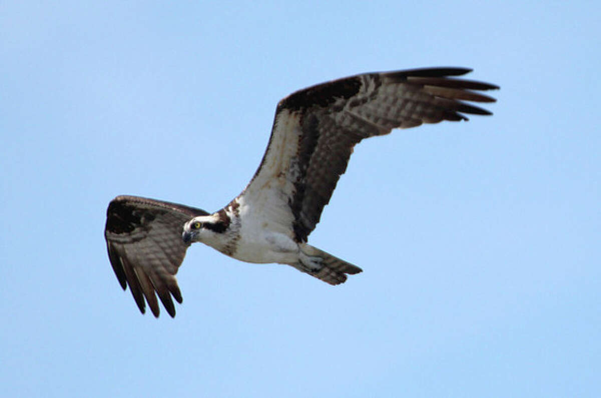 Photo by Chris Bosak An Osprey soars over the Norwalk River this summer.