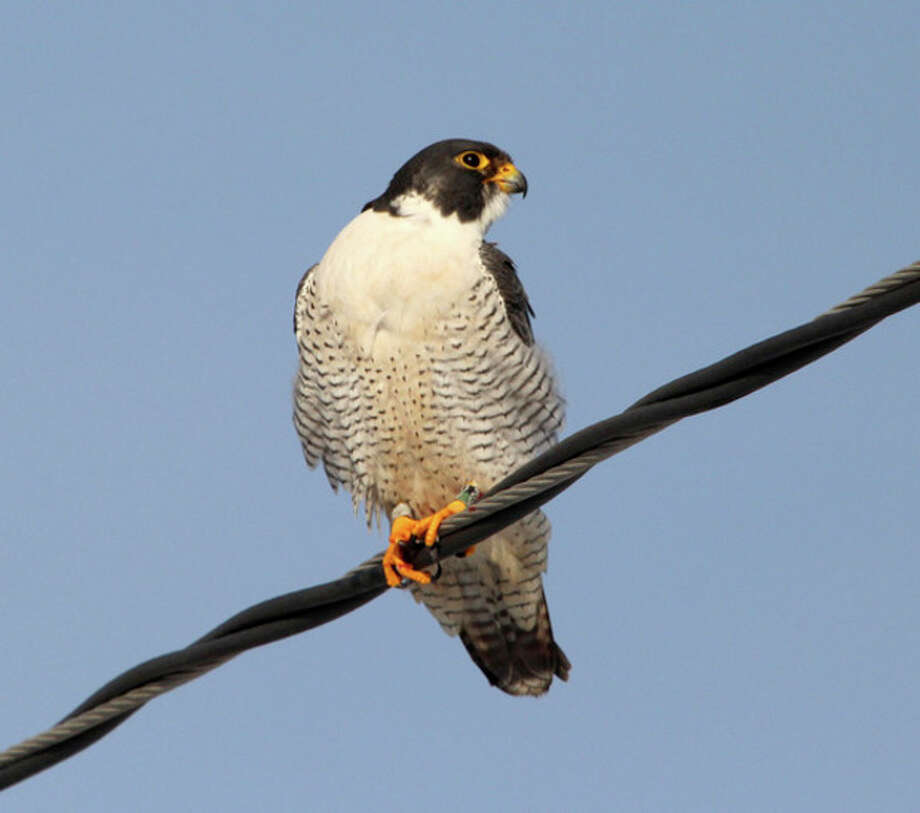 Photo by Chris BosakPeregrine Falcon at Veterans Park in Norwalk, Dec. 2013.