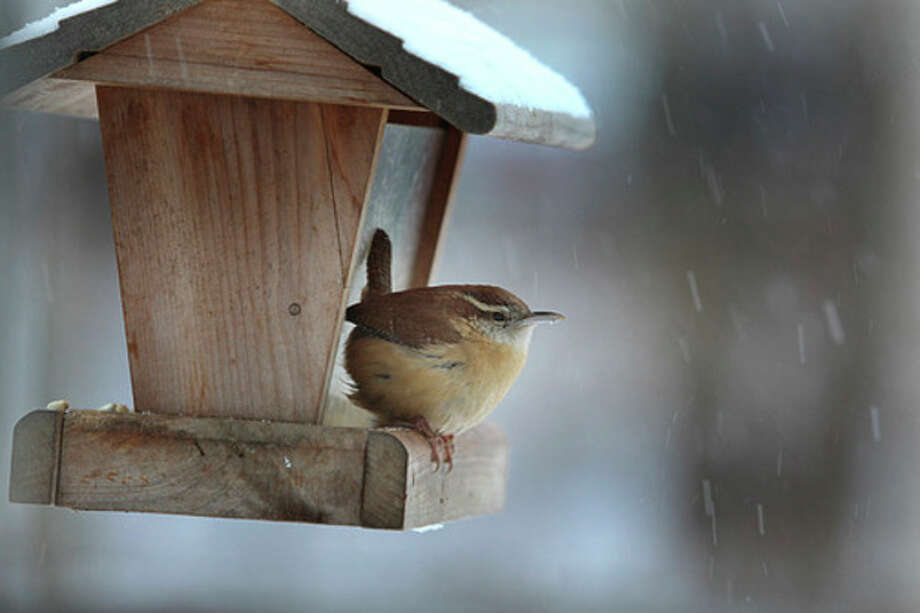 Photo by Chris BosakA Carolina Wren visits a feeder during a snow storm last month.