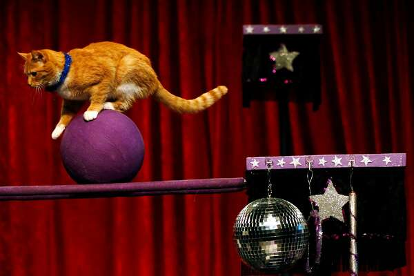 Buffy the cat rolls on a ball during an Acro-cats performance at Southside Theater in San Francisco, California, on Thursday, June 9, 2016.