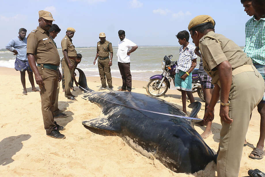 Indian wildlife officials measure one among the dozens of whales that have washed ashore on the Bay of Bengal coast's Manapad beach in Tuticorin district, Tamil Nadu state, India,Tuesday, Jan.12, 2016. The top government official in the southeastern port town of Tuticorin said the short-finned pilot whales began washing up on beaches Monday evening. (AP Photo/Senthil Arumugam)