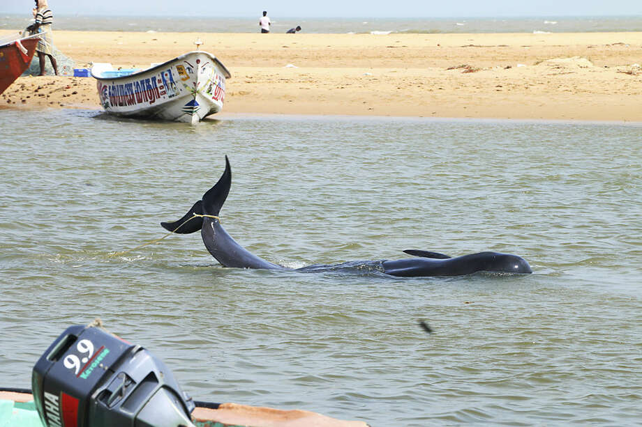 One among the dozens of whales that have washed ashore on the Bay of Bengal coast at the Manapad beach in Tuticorin district, Tamil Nadu state, India, Tuesday, Jan.12, 2016. The top government official in the southeastern port town of Tuticorin said the short-finned pilot whales began washing up on beaches Monday evening. (AP Photo/Senthil Arumugam)