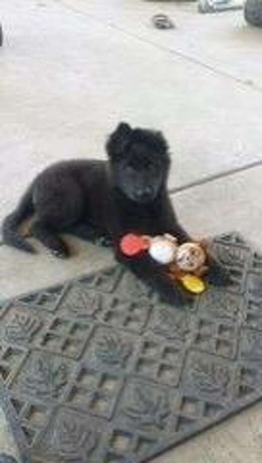 San Leandro police are searching for two men who stole a 3-month old German shepherd named Maya at gunpoint, while the dog was walking with her teenage owner along a quiet residential block of Dayton Avenue. Photo: Courtesy Of San Leandro Police Department, Handout