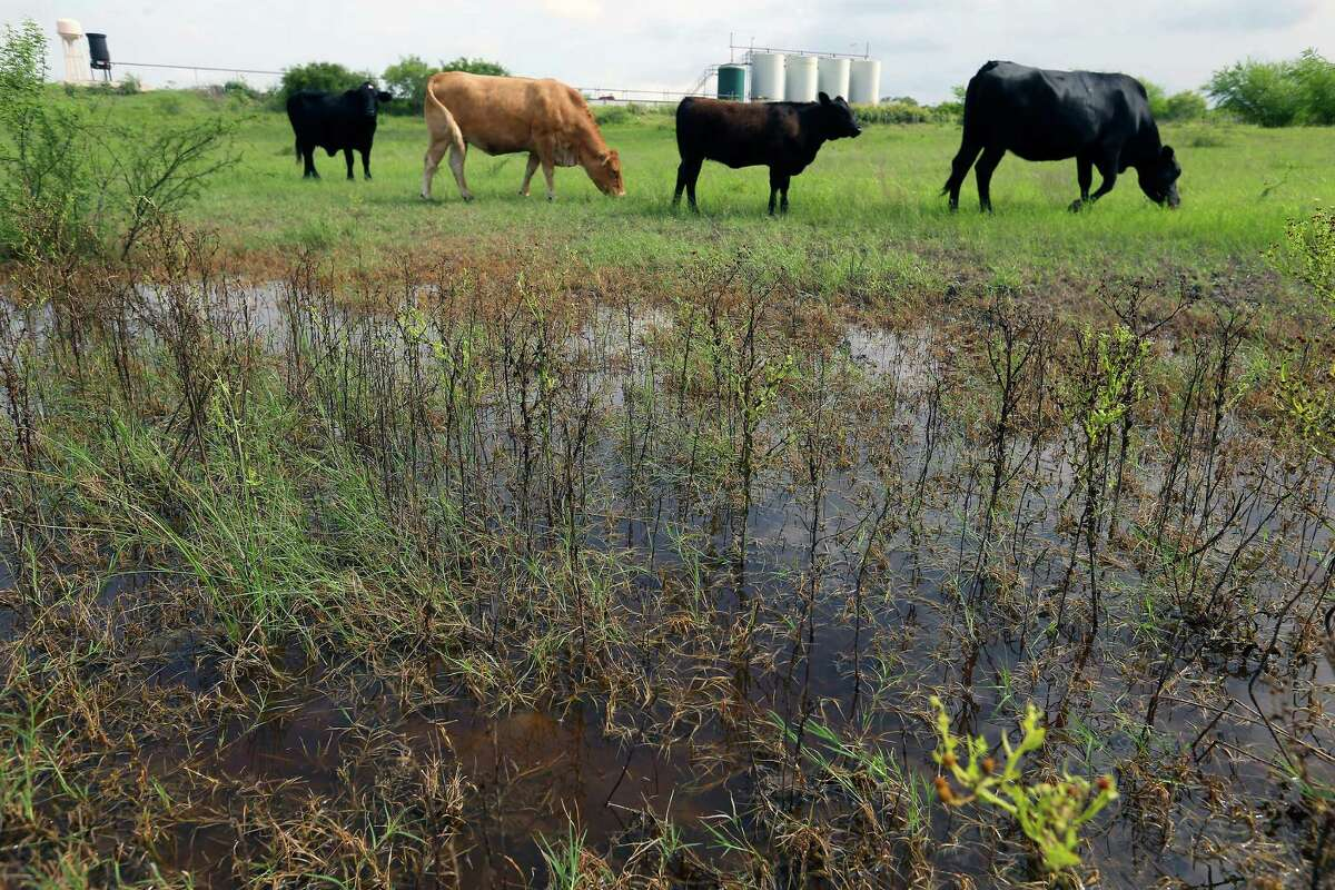 Cattle graze on Gilbert Torres' property May 31 near Kenedy as water from an emptied frac water pond that poured onto his property still stands a month later in terraces built into Torres' land.