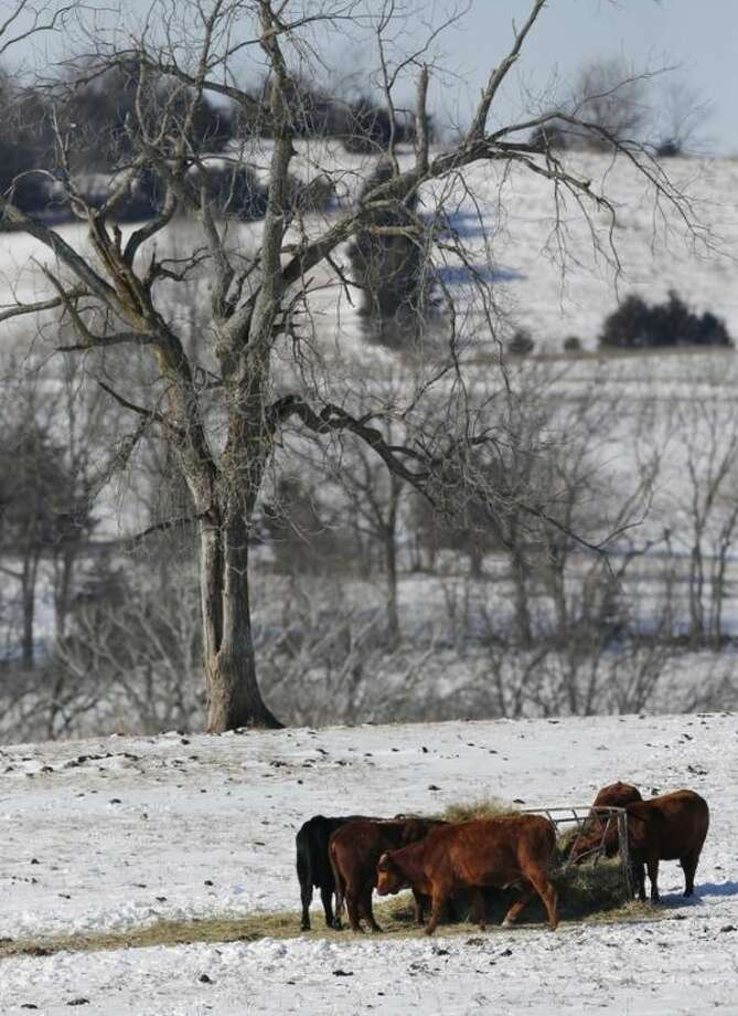 Cattle feed in a pasture near Lecompton, Kan., Monday, Jan. 6, 2014. Cattle with their thick hides and heavy coats can usually weather the cold temperatures well as long as there is not much snow to get them wet. Luckily, it is too early for most ranchers to calve yet in Kansas. But the brutally cold temperatures make it hard for the ranchers who must make sure they have plenty of unfrozen water, feed and bedding. (AP Photo/Orlin Wagner)