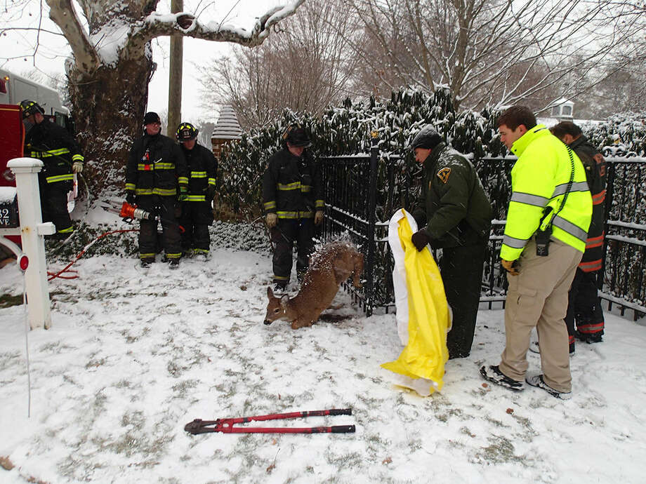 Contributed photoThe Westport Fire Department help free a deer that was trapped in a fence on Beach Avenue Friday morning.