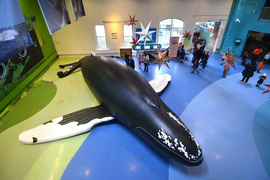 Hour Photo/Alex von Kleydorff A lifesize Hunchback Whale is inflated inside the Maritime Aquarium for a new exhibit