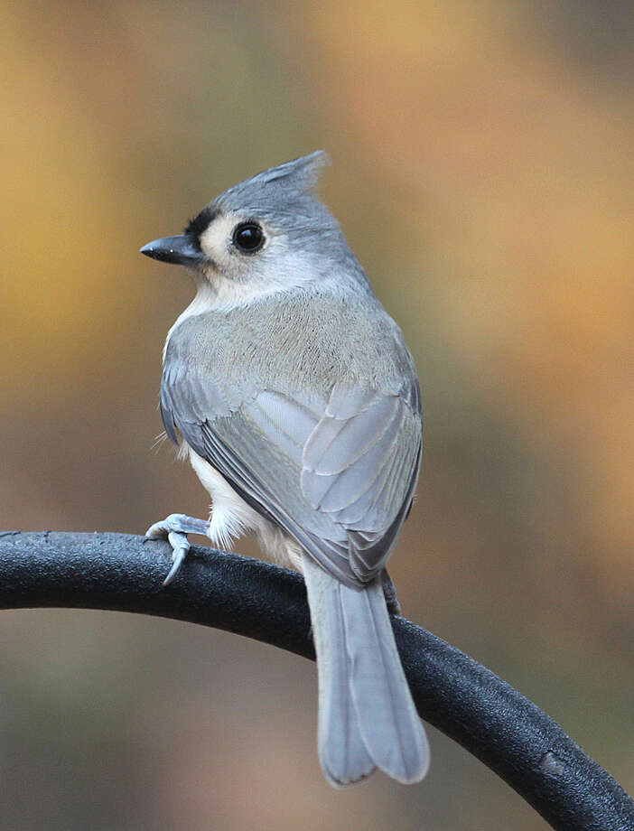 Photo by Chris BosakA Tufted Titmouse perches near a feeding station in New England, fall 2015.