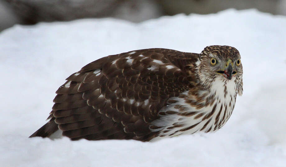 Photo by Chris BosakA young Cooper's Hawk eats a squirrel in southern New England in Feb. 2015.