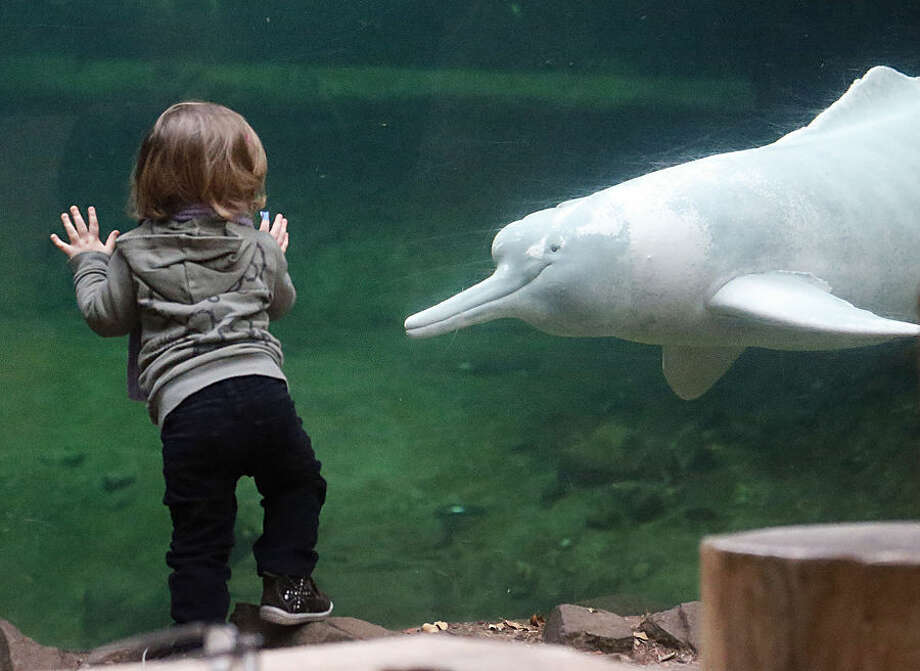 A young girl watches a river dolphin swimming by at the aquarium of the Zoo in Duisburg, Germany, Wednesday, Jan. 14, 2015. Every year the Zoo counts its animals, size and weight in an inventory. 4,237 animals in 356 species live in this western German Zoo. (AP Photo/Frank Augstein)