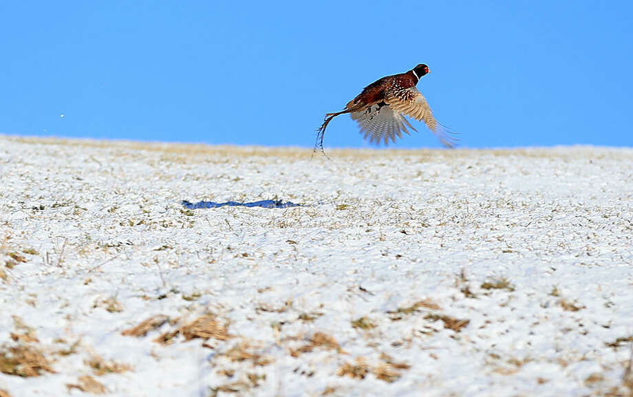 """A pheasant flies over the snow on the South Pennines, near Holme, England, as more winter weather has swept across the United Kingdom bringing disruption to transport systems, Wednesday Jan. 14, 2015. More than 100 schools and nurseries have been shut and many roads closed as snow and wintry weather sweeps across the country. The Meteorological Office has issued yellow """"be aware"""" warnings of snow, ice and wind across the whole of the United Kingdom. (AP Photo/PA, Lynne Cameron) UNITED KINGDOM OUT NO SALES NO ARCHIVE"""