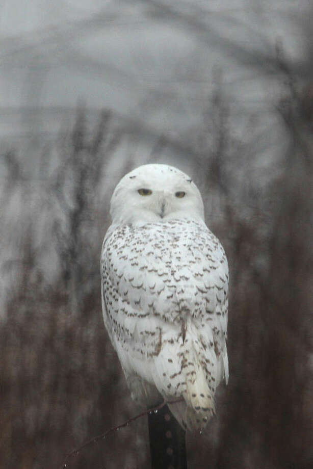 Photo by Chris BosakA Snowy Owl perches on a fence post at Sherwood Island State Park in Westport on Monday, Dec. 23, 2013.