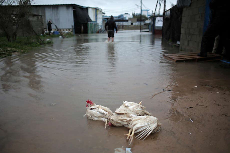 Dead chickens are seen after a chicken farm flooded in the town of Rafah , southern Gaza Strip, Tuesday, Jan. 26, 2016. Heavy rains caused widespread flooding in the Gaza Strip on Tuesday placing further strain on run-down infrastructure and power supplies in the blockaded Palestinian territory. (AP Photo/Khalil Hamra)