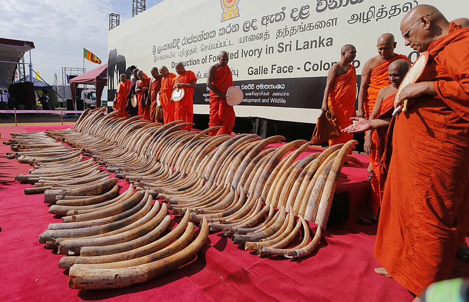 Buddhist monks give the slaughtered elephants blessings for a better rebirth as a shipment of African ivory seized three years ago, is displayed before they are destroyed in Colombo, Sri Lanka, Tuesday, Jan. 26, 2016. The ivory was traced to northern Mozambique and Tanzania and has been valued by Sri Lankan customs at 368 million rupees (more than $2.5 million). The 359 tusks weighing a total of 1,529 kilograms (3,370 pounds) were crushed by machines into smaller pieces that will later be burned to ash in high-temperature ovens at a cement factory. (AP Photo/Eranga Jayawardena)