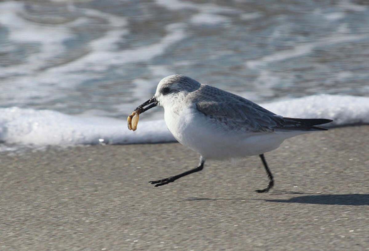 Photo by Chris Bosak A Sanderling runs along the shore with a sea snail at Long Beach in Stratford earlier this week.