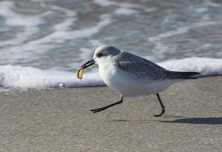 Photo by Chris BosakA Sanderling runs along the shore with a sea snail at Long Beach in Stratford earlier this week.