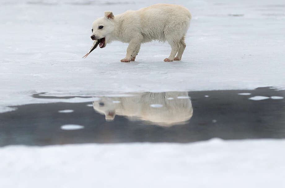 A small dog is reflected in a puddle formed by melting ice while eating a fish it snatched from a fisherman on a lake in Cimiseni, Moldova, Friday, Jan. 29, 2016. Moldovans took advantage of the little time left before the ice becomes too thin, due to warmer than usual weather, to ice fish. (AP Photo/Vadim Ghirda)
