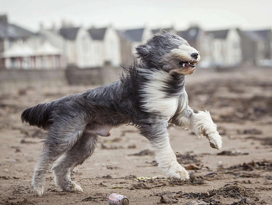 Zac, a Bearded Collie, runs on the beach, in Ardrossan, Scotland, Friday, Jan. 29, 2016, as a storm reaches the UK. Winds of more than 90mph have hit the west of Scotland as Storm Gertrude sweeps the country, causing power cuts and travel disruption. ( Danny Lawson/PA via AP) UNITED KINGDOM OUT NO SALES NO ARCHIVE