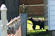 Dave Beaty spotted this bear on Wyoming Street in Stratford on June 10, 2016.