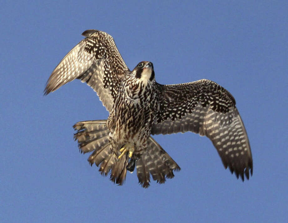Photo by Chris BosakA young Peregrine Falcon flies overhead at Veterans Park in Norwalk this winter.