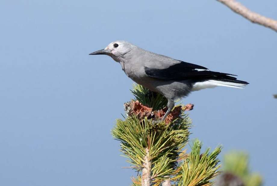Frank D. Lospalluto/FlickrWhitebark Pines, already under seige by a lethal disease brought to the continent on imported seedlings, now face a new threat from mountain pine beetles, which have expanded into high-elevation forests due to warmer temperatures brought on by climate change. Pictured: a Clark's Nutcracker sits atop a Whitebark Pine in Crater Lake National Park, Oregon.