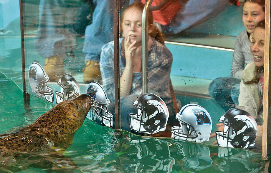 Hour photo / Erik Trautmann The Maritime Aquarium harbor seal, Orange, picks the Carolina Panthers as the Super Bowl winner this Sunday against the Denver Broncos during a brief ceremony at the aquarium Thursday. Orange incorrectly picked the winner last year.