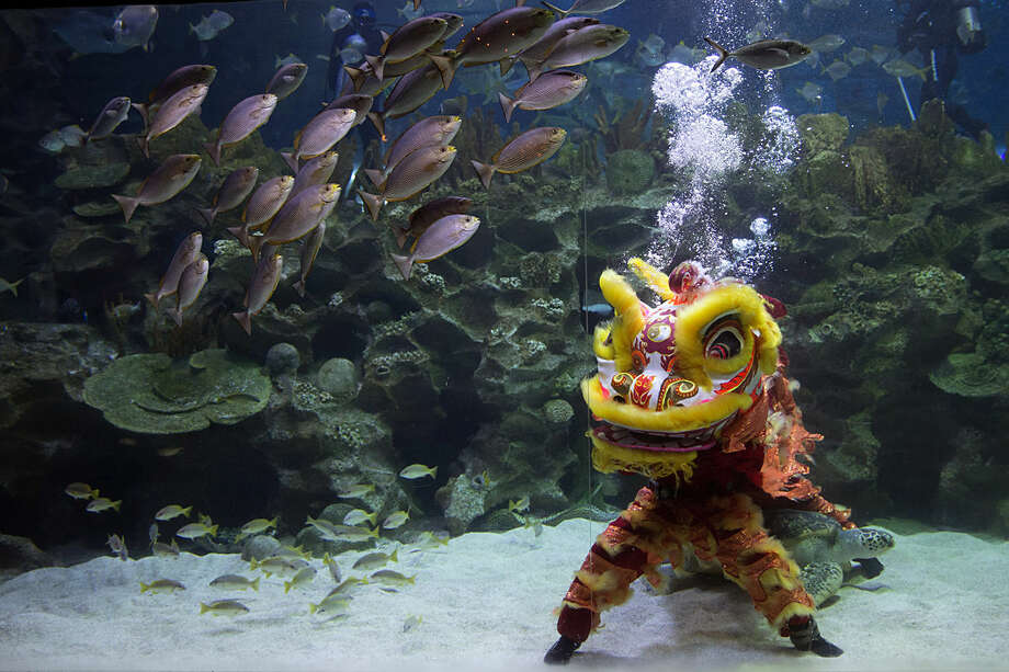 A Chinese lion dancer performs during the Chinese Lunar New Year at Aquaria KLCC underwater park in Kuala Lumpur, Malaysia, Friday, Feb. 12, 2016. The celebration marks the Year of the Monkey in the Chinese calendar. (AP Photo/Vincent Thian)