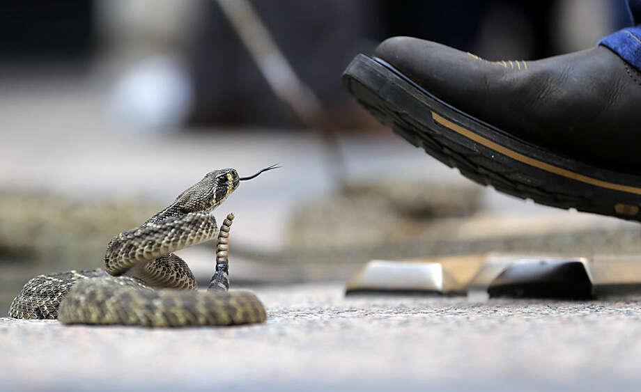 A rattlesnake watches a handler's boot at the Capitol, Monday, Feb. 2, 2015, in Austin, Texas. Members of the Sweetwater Jaycees brought rattlesnakes to promote their annual rattlesnake round-up and help educate visitors. (AP Photo/Eric Gay)