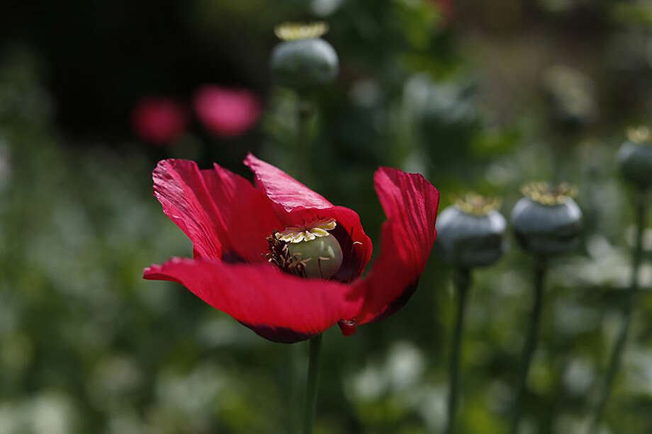 In this Jan. 26, 2015 photo, poppy flowers grow in the mountains of the Sierra Madre del Sur in Guerrero state, Mexico. The multibillion-dollar Mexican opium trade starts here, where Mexican farmers are feeding a growing addiction in the U.S. (AP Photo/Dario Lopez-Mills)