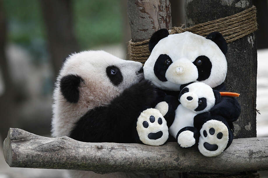 A 6-month old female giant panda cub, an offspring of Xing Xing, formerly known as Fu Wa and Liang Liang, formerly known as Feng Yi, plays with a soft-toy panda at the Giant Panda Conservation Center at the National Zoo in Kuala Lumpur, Malaysia, Thursday, Feb. 18, 2016. Two giant pandas have been on loan to Malaysia from China for 10 years since May 21, 2014, to mark the 40th anniversary of the establishment of diplomatic ties between the two nations. (AP Photo/Joshua Paul)