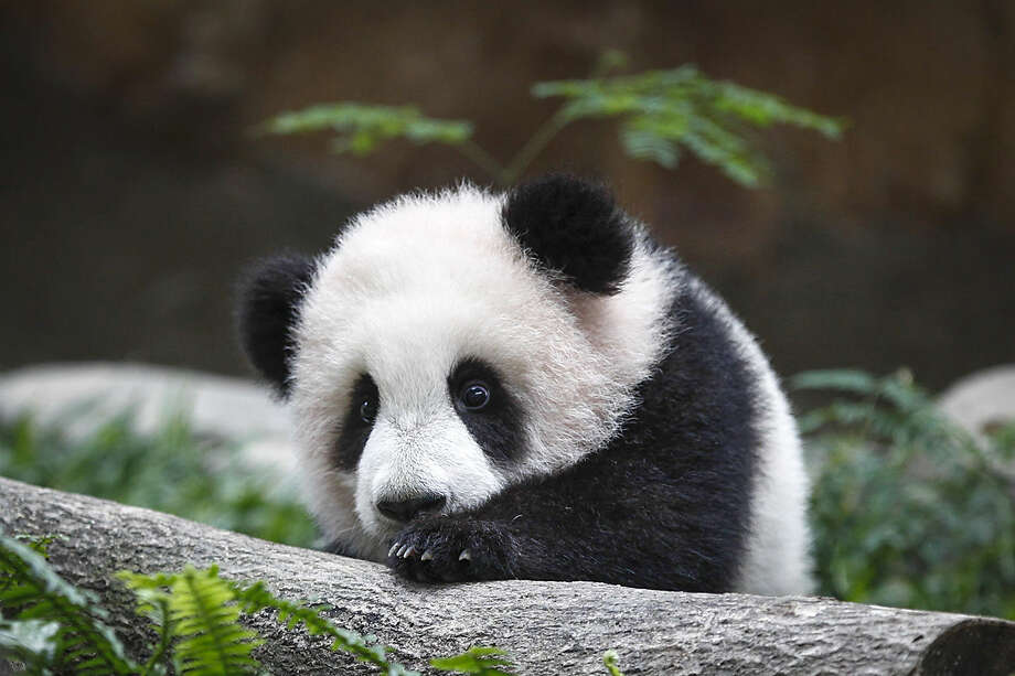 A 6-month old female giant panda cub, an offspring of Xing Xing, formerly known as Fu Wa and Liang Liang, formerly known as Feng Yi, plays at the Giant Panda Conservation Center at the National Zoo in Kuala Lumpur, Malaysia, Thursday, Feb. 18, 2016. Two giant pandas have been on loan to Malaysia from China for 10 years since May 21, 2014 to mark the 40th anniversary of the establishment of diplomatic ties between the two nations. (AP Photo/Joshua Paul)