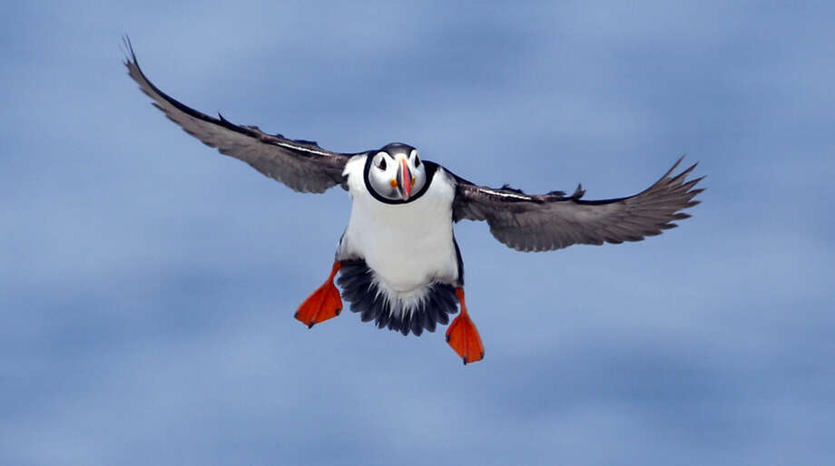 In this photo made Friday, Aug. 1, 2014, an Atlantic puffin comes in for a landing on Eastern Egg Rock, a small island off the coast of Maine. Data and anecdotes gathered from residents watching the bird on web cameras will help answer questions about puffin feeding behavior and aid conservation efforts. (AP Photo/Robert F. Bukaty)