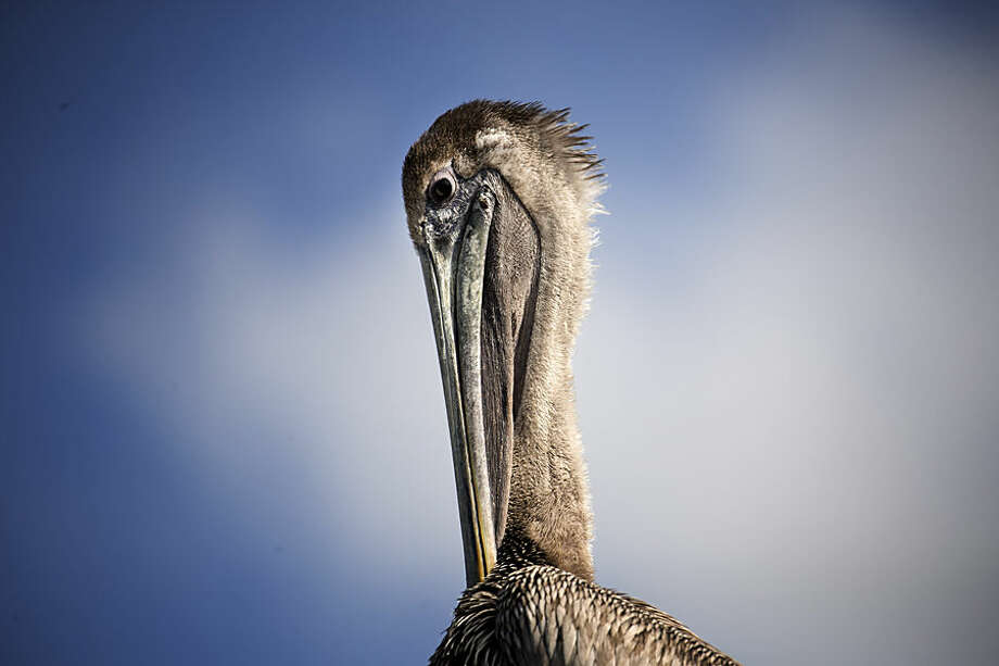 A pelican sits in the sun at Miami's Pelican Harbor Seabird Station, Tuesday, Feb. 3, 2015. Teresa Sepetuac, rehabilitation manager, reports 75percent of the seabirds treated at the station were damaged by fishing line and hooks. The station uses almost 40,000 pounds of fish a year. (AP Photo/J Pat Carter)