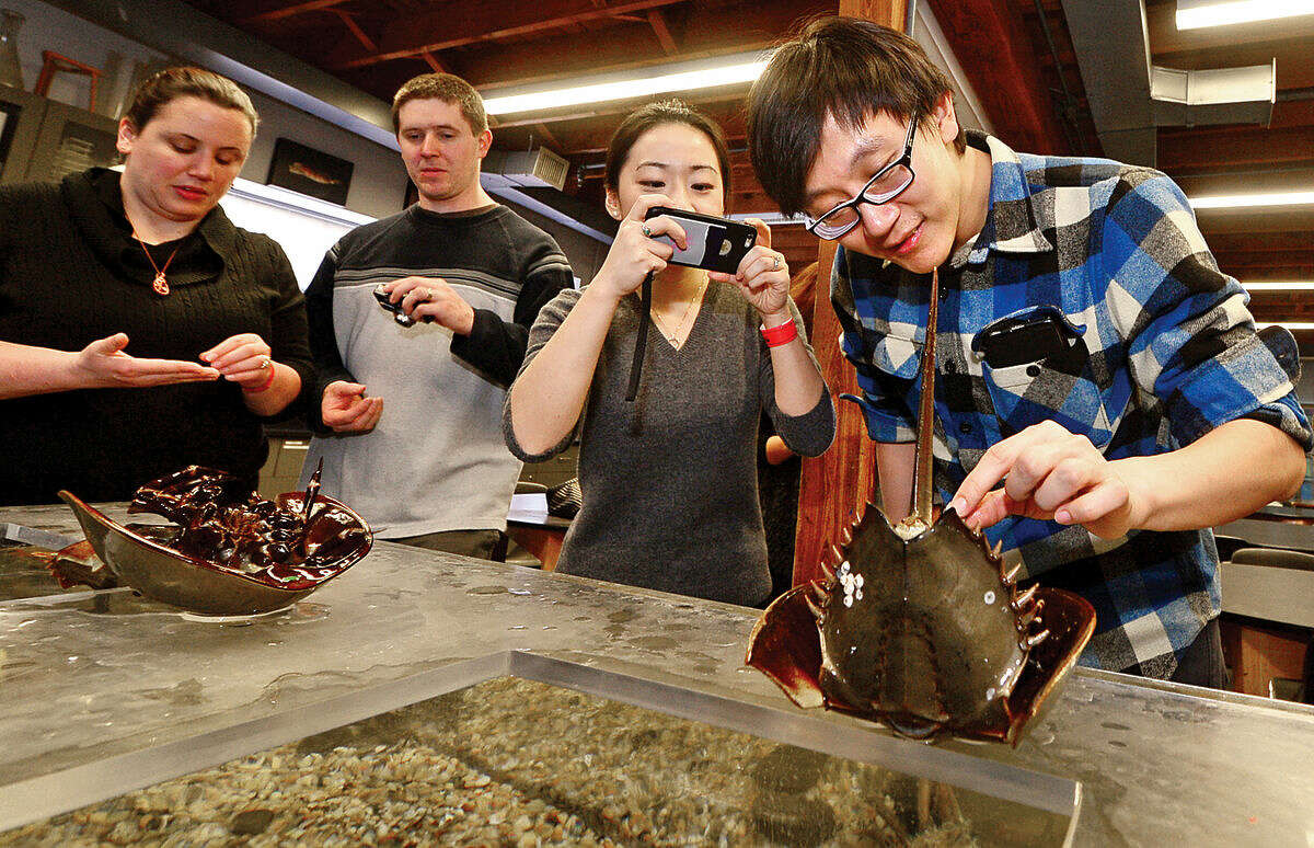 Emily and Jeff Lawler and CC Liu and her fiance Brian Zhao feed horseshoe crabs during the Valentine's Feeding Time for Couples at the Maritime Aquarium Saturday.