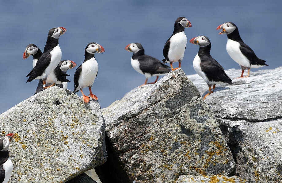 In this photo made Friday, Aug. 1, 2014, Atlantic puffins congregate near their burrows on Eastern Egg Rock, a small island off the coast of Maine. There are about 1,000 pairs of the seabirds, known for their multicolored beaks and clownish appearance, in Maine. (AP Photo/Robert F. Bukaty)