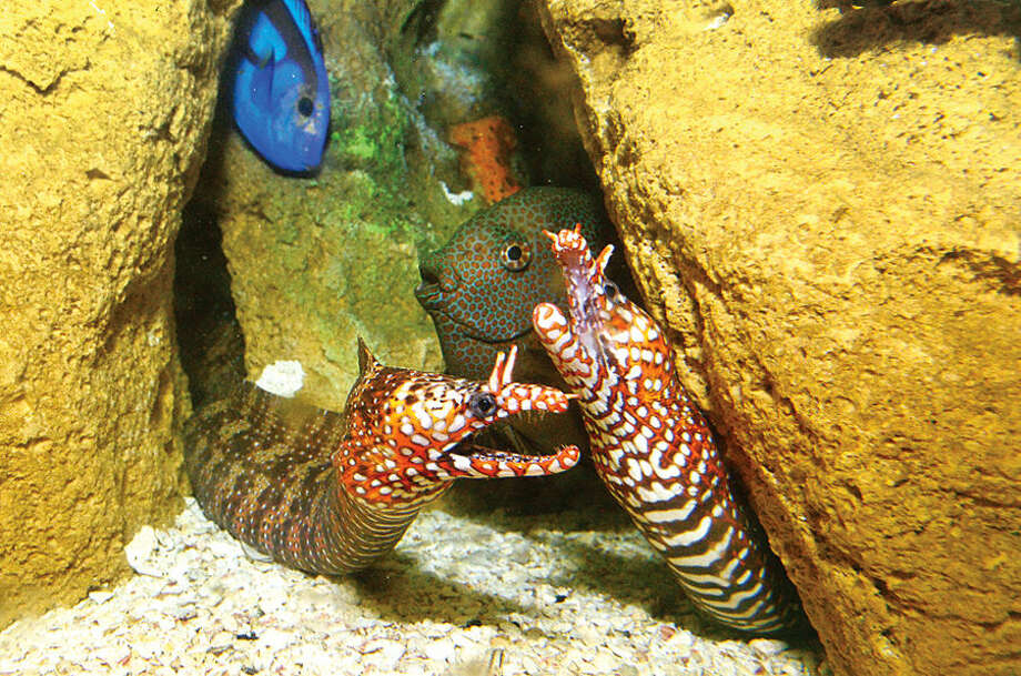 """Hour photo / Erik Trautmann A pair of Dragon Moray Eels are part of the Maritime Aquarium's new exhibit, """"Dragons! Real or Myth?"""" which opens tommorow, Saturday, Feb. 14. The exhibit will feature an exotic variety of land and sea creatures, all with dragon in their name."""