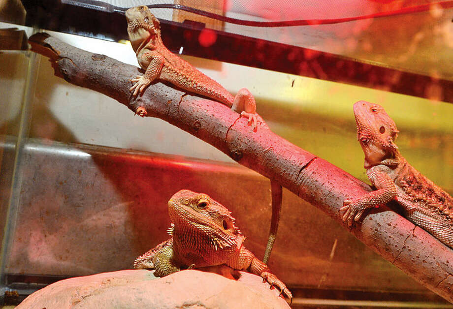"Hour photo / Erik Trautmann A trio of Frilled Dragons wait to be moved downstairs to the Maritime Aquarium's new exhibit, ""Dragons! Real or Myth?"" which opens Saturday. The exhibit will feature an exotic variety of land and sea creatures, all with dragon in their name."