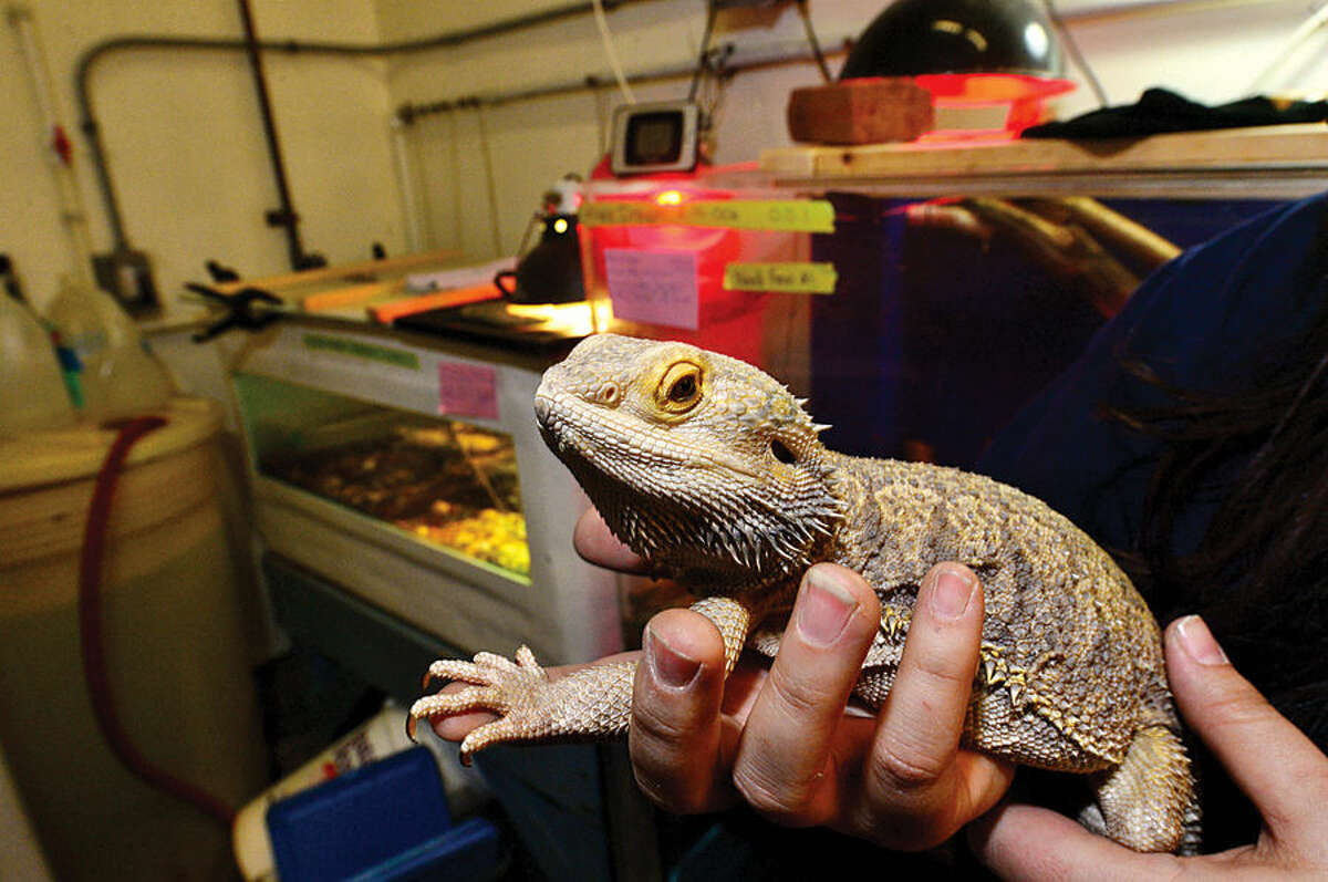 Hour photo / Erik Trautmann Jethro, A Bearded Dragon, waits to be moved downstairs to the Maritime Aquarium's new exhibit,