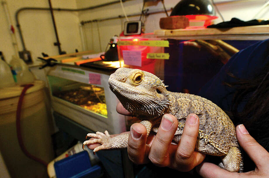 "Hour photo / Erik Trautmann Jethro, A Bearded Dragon, waits to be moved downstairs to the Maritime Aquarium's new exhibit, ""Dragons! Real or Myth?"" which opens Saturday. The exhibit will feature an exotic variety of land and sea creatures, all with dragon in their name."