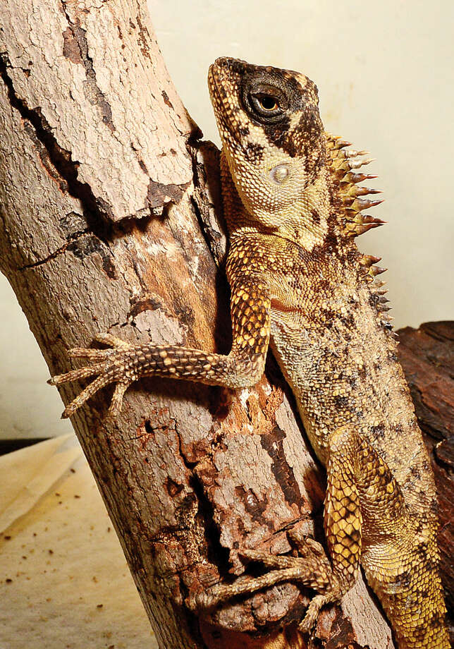 """Hour photo / Erik Trautmann A Horned Dragon waitsto be moved into his new home in the Maritime Aquarium's new exhibit, """"Dragons! Real or Myth?"""" which opens Saturda. The exhibit will feature an exotic variety of land and sea creatures, all with dragon in their name."""