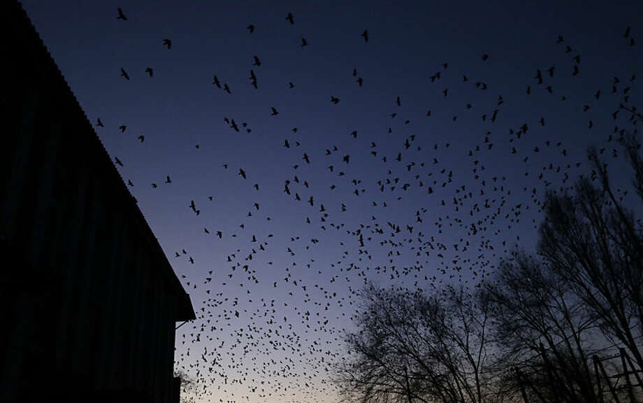 Birds swarm in the sky as shelling between Russian-backed separatists and Ukrainian government takes place in a residential area of the town of Artemivsk, Ukraine, Friday, Feb. 13, 2015. Despite a looming cease-fire deal for eastern Ukraine, a government-held town 40 kilometers (25 miles) behind the front line has been hit by shelling, killing at least one person. The deadline for the warring sides to halt hostilities is Sunday morning at one minute after midnight. (AP Photo/Petr David Josek)